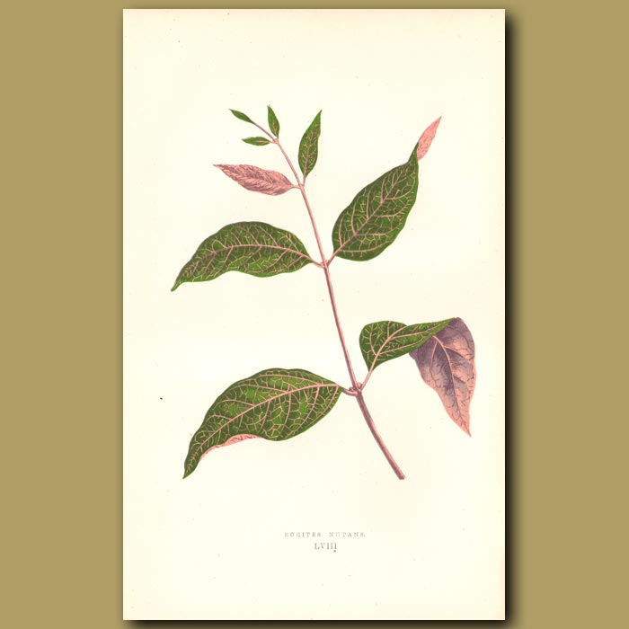 Antique print. South American vine