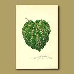 Ivy, Cissus porphyrophyllus
