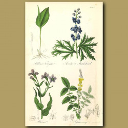 Adders Tongue, Aconite or Monkshood (highly poisonous)