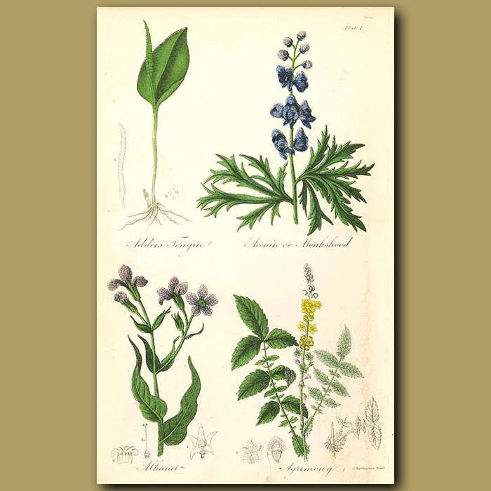 Antique print. Adders Tongue, Aconite or Monkshood (highly poisonous)