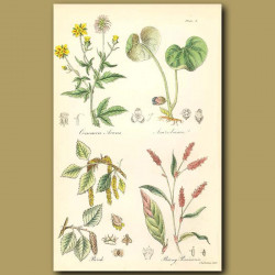 Common Avens (or Herb Bennet), Asarabacca (sometimes used as a snuff )