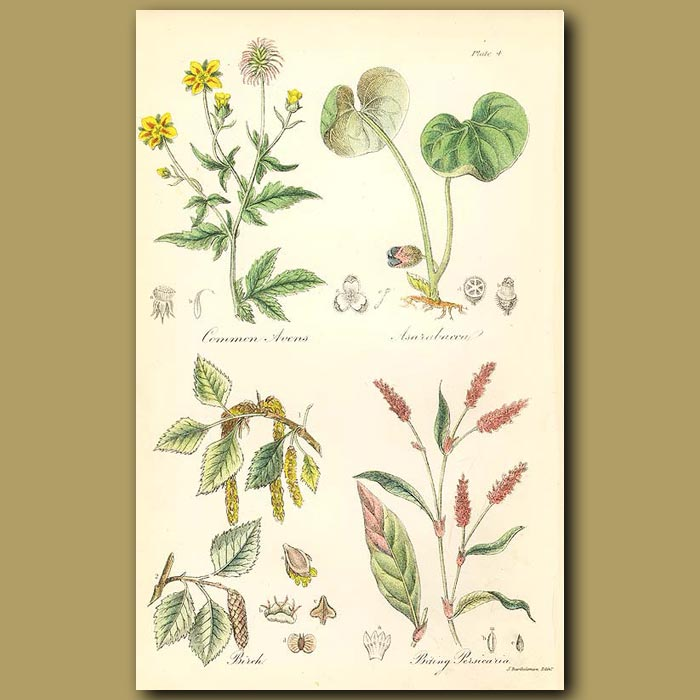 Antique print. Common Avens (or Herb Bennet), Asarabacca (sometimes used as a snuff )
