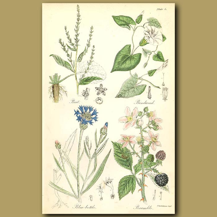 Antique print. Beet (culinary use), Bindweed (was used as a an antiscorbutic)