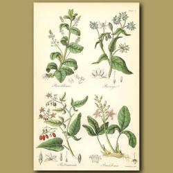 Brooklime (eaten in salads), Borage (herb)