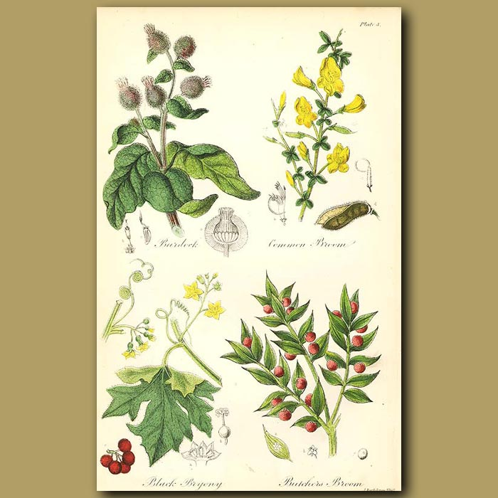 Antique print. Burdock (was used as a detergent!), Common Broom (all parts used as food)