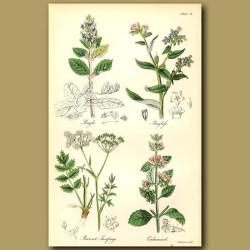Bugle, Bugloss (can be eaten like cabbage)