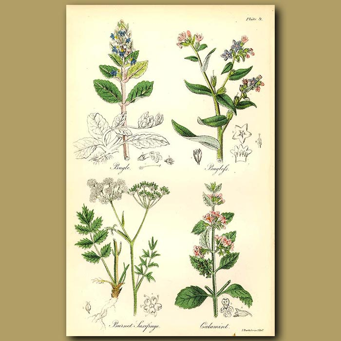 Antique print. Bugle, Bugloss (can be eaten like cabbage)