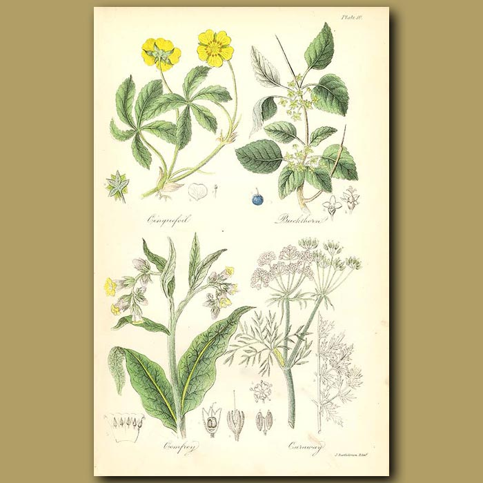 Antique print. Cinquefoil (used for tanning leather), Buckthorn (yields a yellow juice used to stain paper)