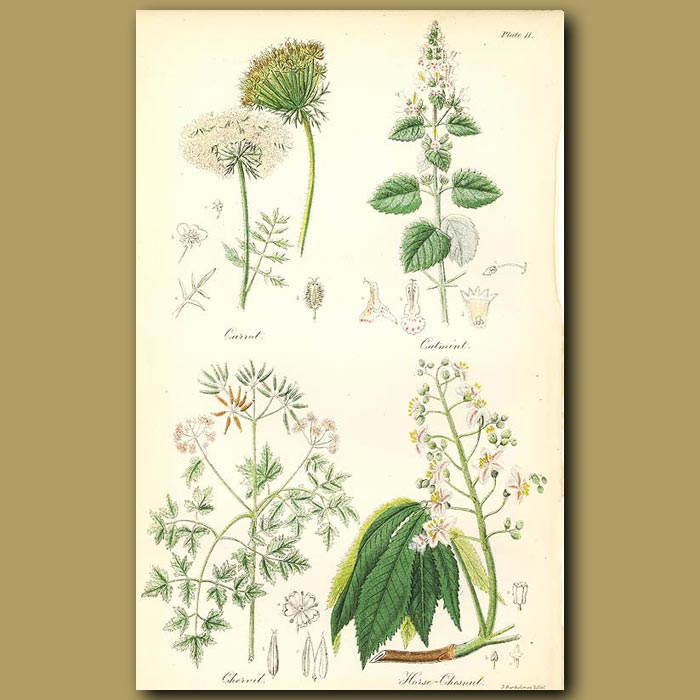Antique print. Carrot, Catmint