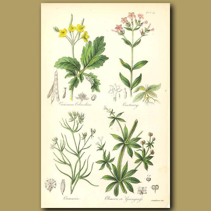 Antique print. Common Celandine (poisonous), Centuary (very bitter)