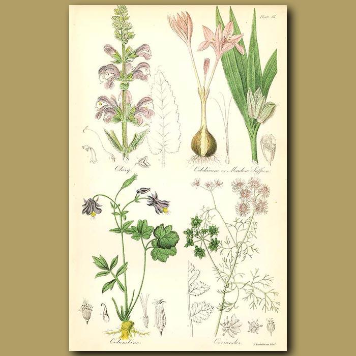 Antique print. Clary (Meadow Sage), Meadow Saffron