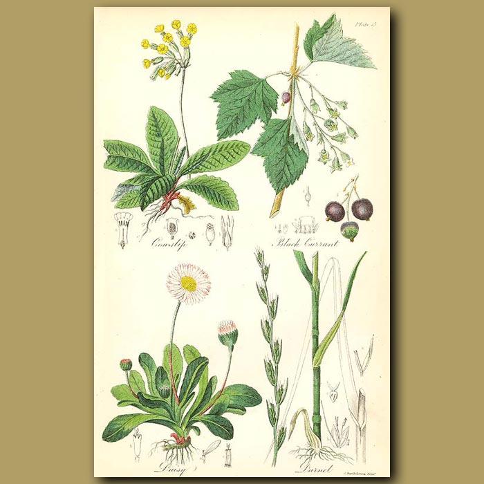 Antique print. Cowslip (Primula), Black Currant