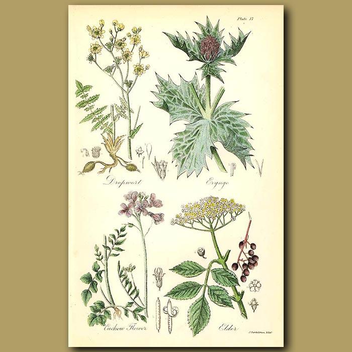 Antique print. Dropwort (edible roots), Eryngo (Sea Holly)