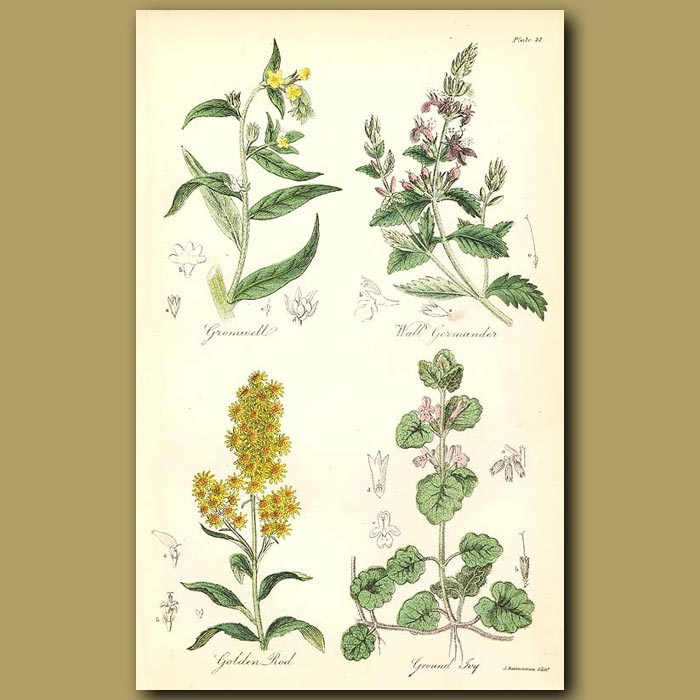 Antique print. Gromwell , Wall Germander (used in tanning leather)