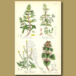 Ground Pine (Herb-ivy or Field Cypress), Water-Germander (smells like garlic)