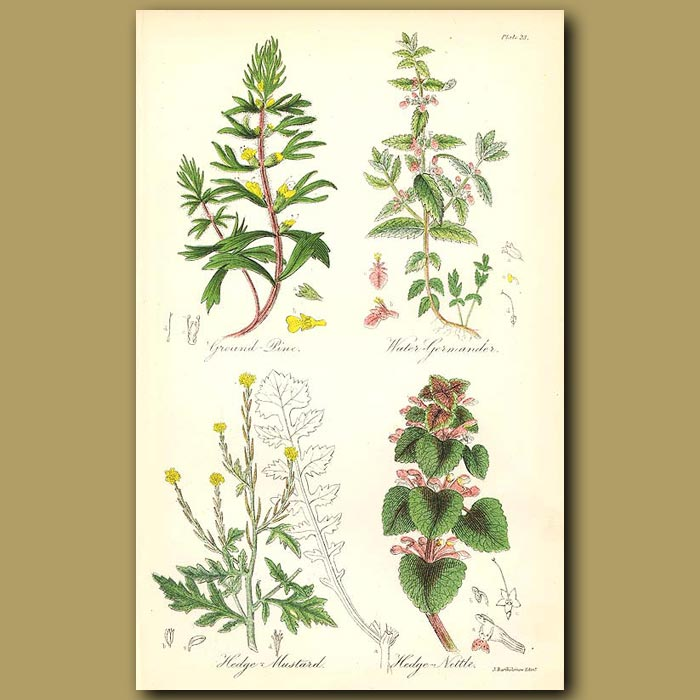 Antique print. Ground Pine (Herb-ivy or Field Cypress), Water-Germander (smells like garlic)