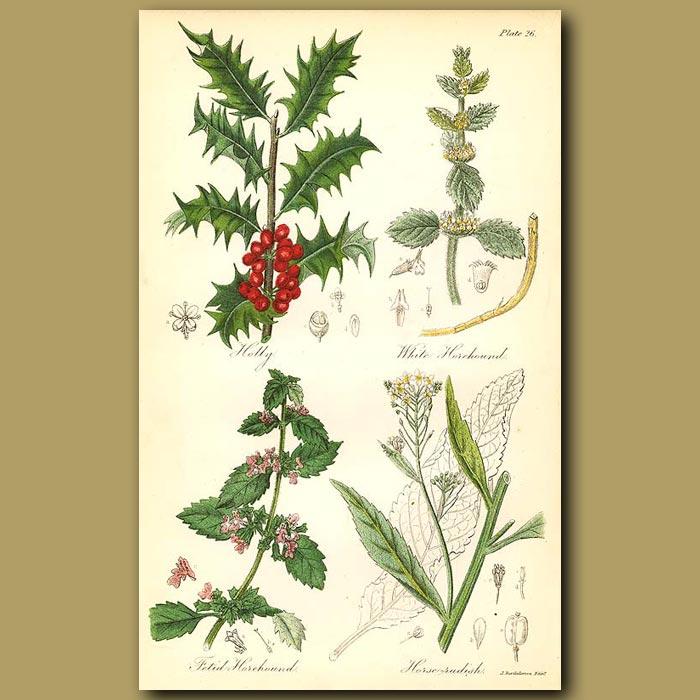Antique print. Holly, White Horehound (musky smell)