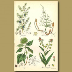 Juniper (many culinary uses), Horsetail (used in cleaning)