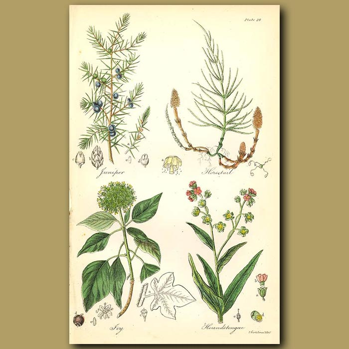 Antique print. Juniper (many culinary uses), Horsetail (used in cleaning)