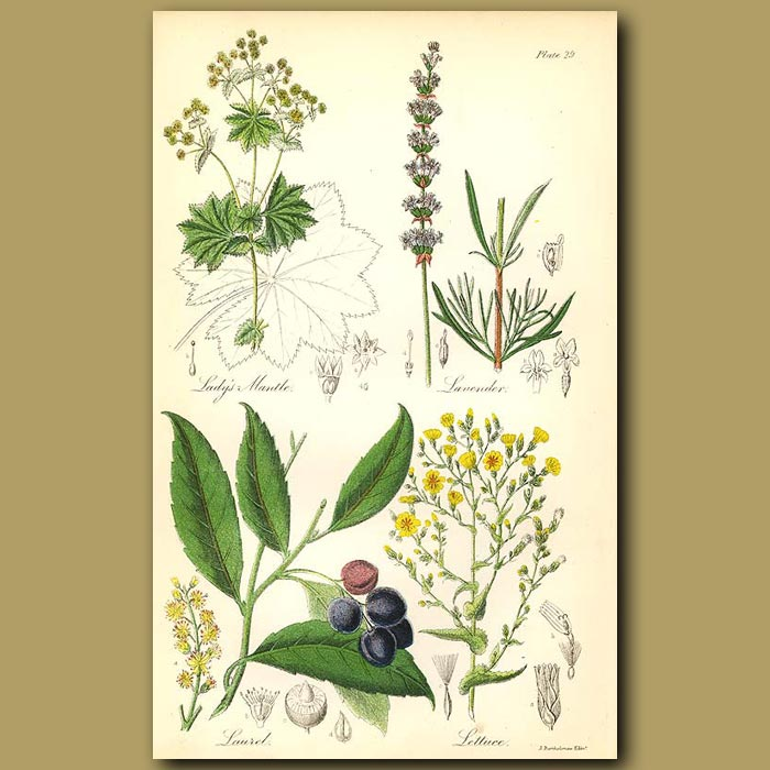 Antique print. Lady's Mantle (or Bear's Foot), Lavender