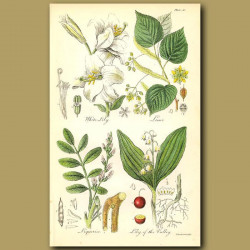 White Lily, Lime (Linden Tree)