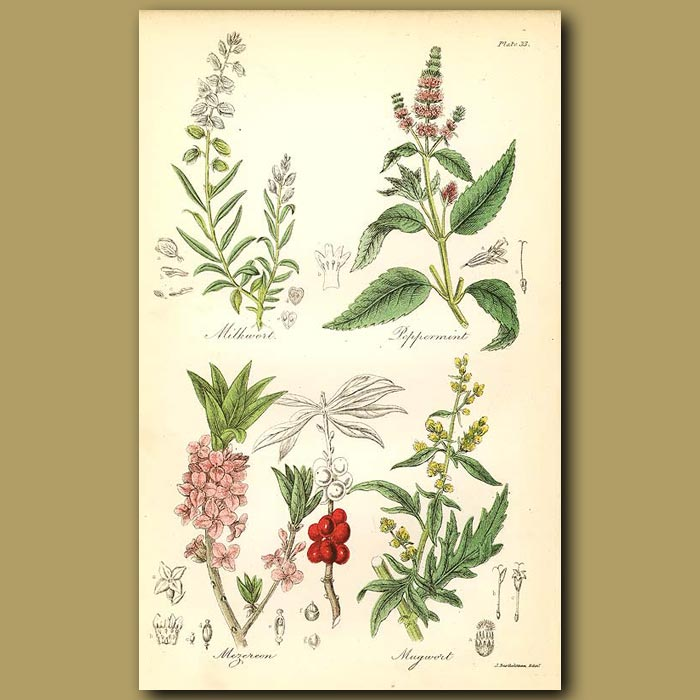 Antique print. Milkwort (alleged to increase the milk of animals), Peppermint