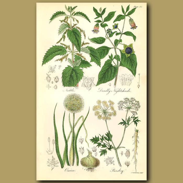 Antique print. Nettle (stinging leaves can be eaten), deadly Nightshade (poisonous)