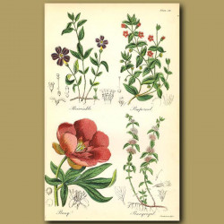 Periwinkle, Pimpernel (thought to cure melancholia)