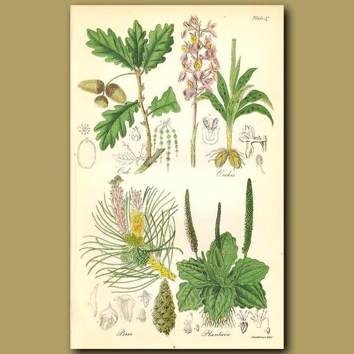 Antique print. Oak, Orchis