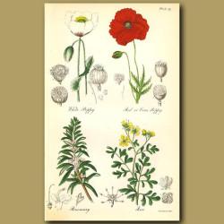 White Poppy, red or Corn Poppy (opium poppy)