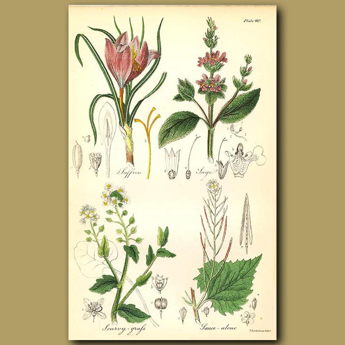 Antique print. Saffron (used for culinary purporses in modern times), Sage (herb)