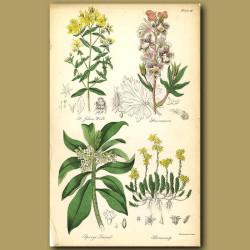 St.John's Wort, Stavesacre (herb)
