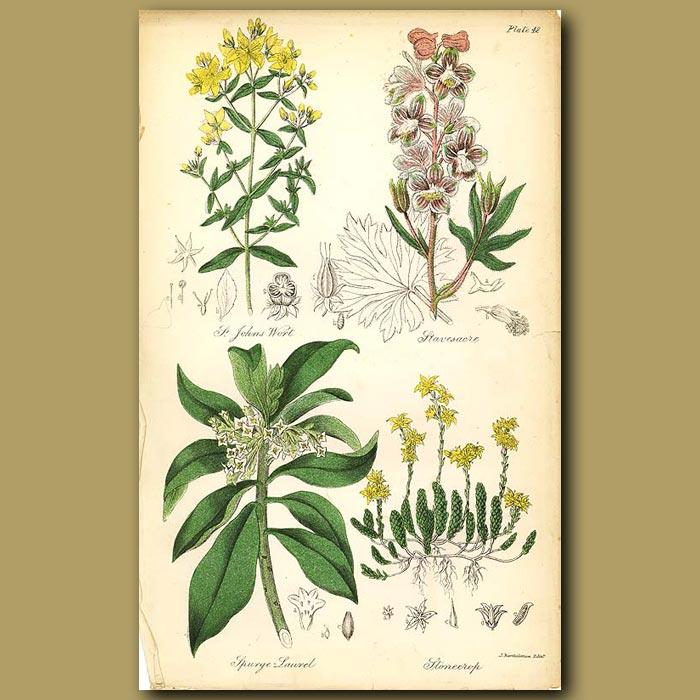 Antique print. St.John's Wort, Stavesacre (herb)