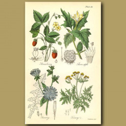 Strawberry, Thornapple (poisonous)