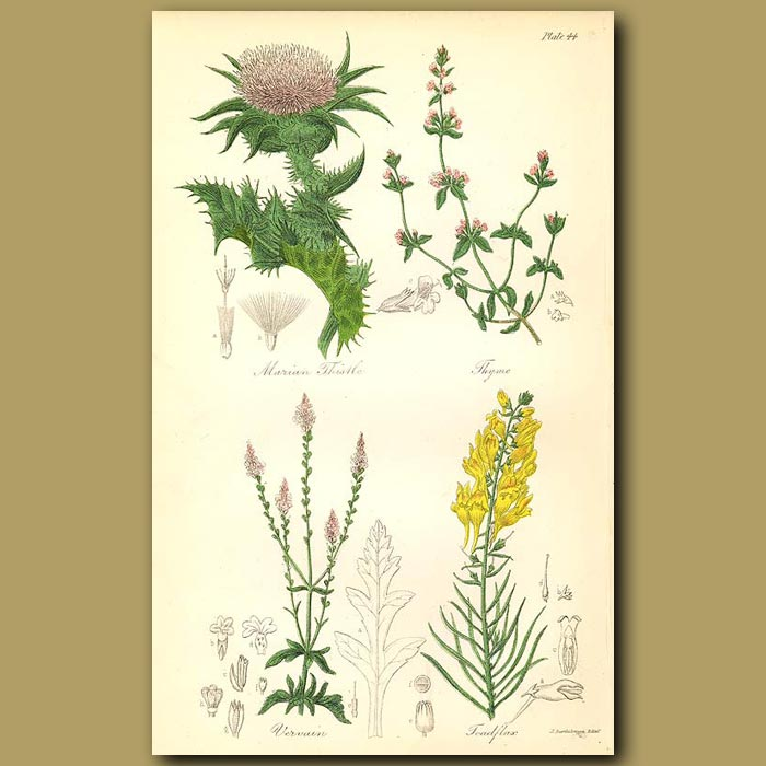 Antique print. Marian Thistle, Thyme (herb)