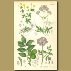 Tormentil (medicinal use), Valerian