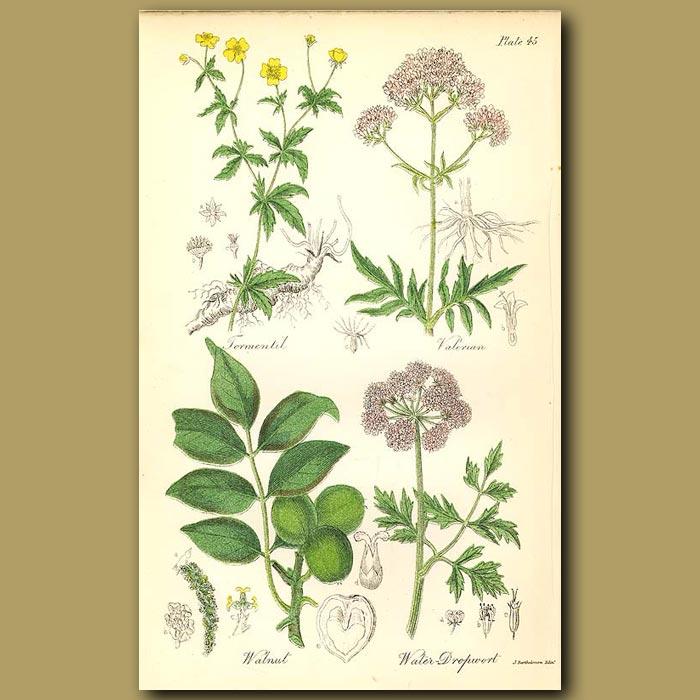 Antique print. Tormentil (medicinal use), Valerian