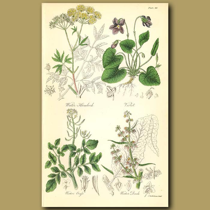 Antique print. Water Hemlock (poisonous), Violet