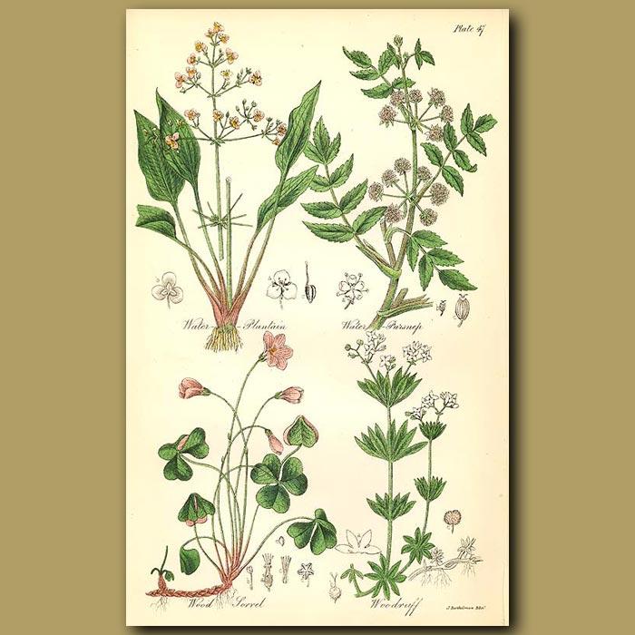 Antique print. Water Plantain, Water Parsnip