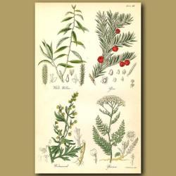 White Willow, Yew
