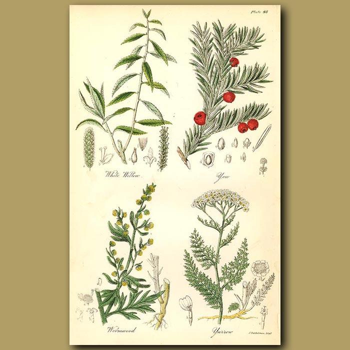 Antique print. White Willow, Yew