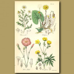 Chamomile And Coltsfoot