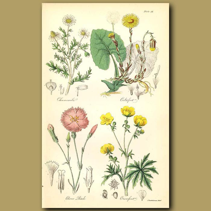 Antique print. Chamomile (commonly used in medicine), Coltsfoot (leaves were used as tobacco)