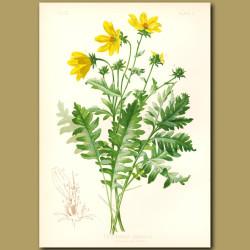 Cut-leaved Engelmann Flower