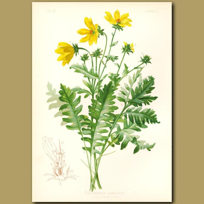Antique print. Cut-leaved Engelmann Flower