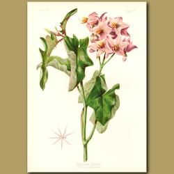 Torrey's Solanum