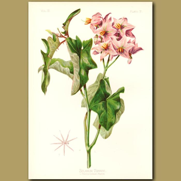Antique print. Torrey's Solanum