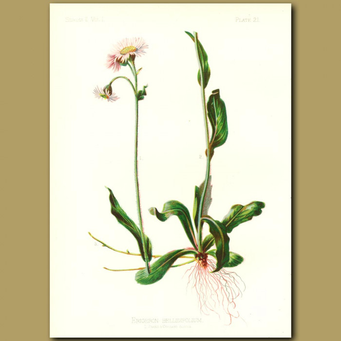 Antique print. Poor Robin's Plantain
