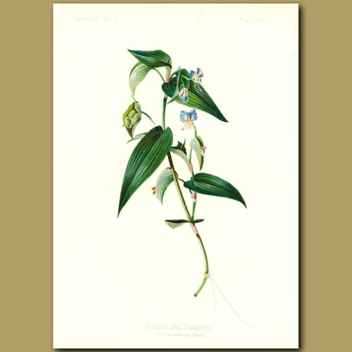 Antique print. Common Day Flower