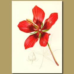 American Scarlet Rose-Mallow